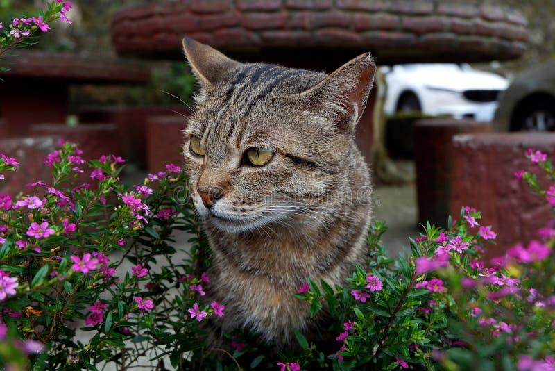 Photo de plan rapproché de beau chat asiatique avec les yeux jaunes photos stock