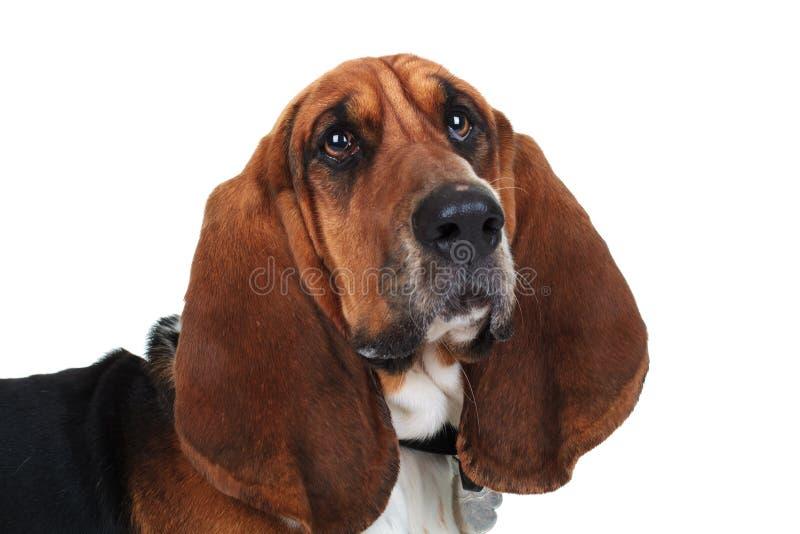 Photo de plan rapproché d'un chien de basset mignon photographie stock