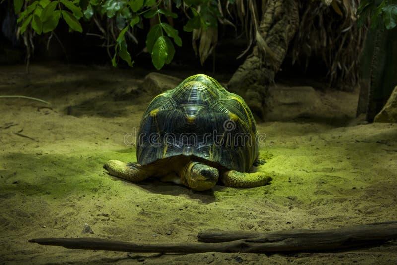 Photo de plan rapproché d'une grande tortue dans le feu vert photo stock