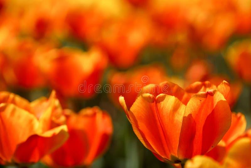 Photo de plan rapproch? de tulipe image libre de droits
