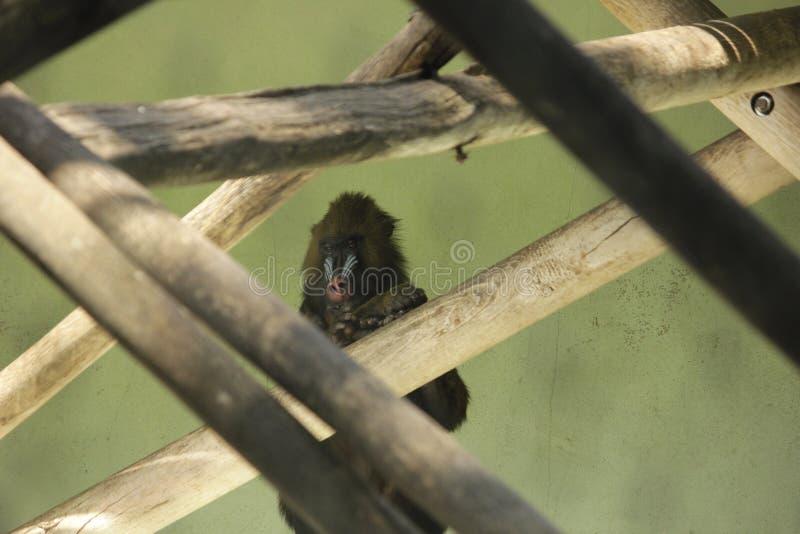 Photo de singe de mandrill dans les branches photos libres de droits