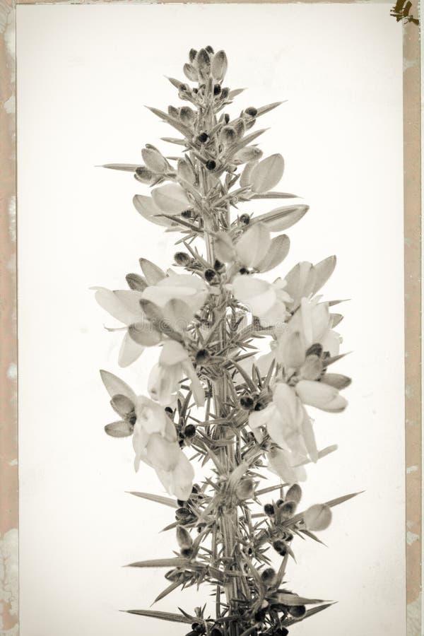 Photo de style de cru de fleur d'ajonc en noir et blanc images libres de droits