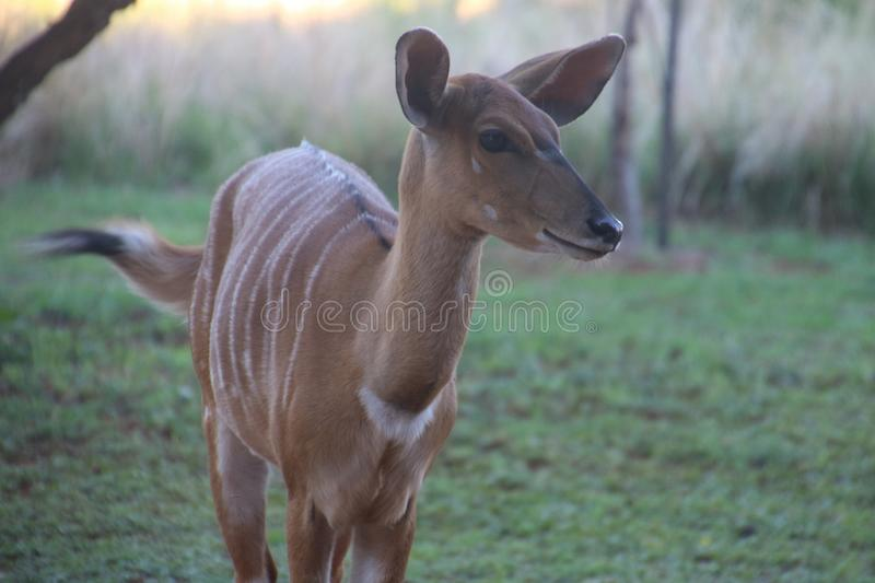 Photo of a Deer royalty free stock images