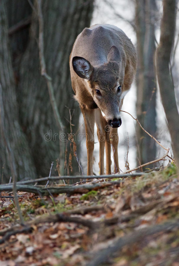 Photo of the deer searching something on the ground. In the forest stock image