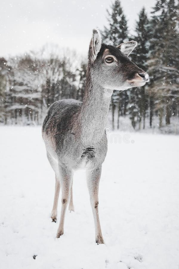 Photo of Deer in the Snow stock image