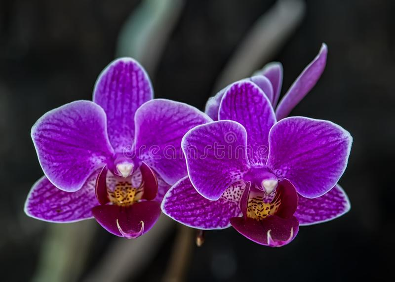 Dendrobium lilac orchid, Pair of orchid flowers Dendrobium lilac in the garden royalty free stock photo