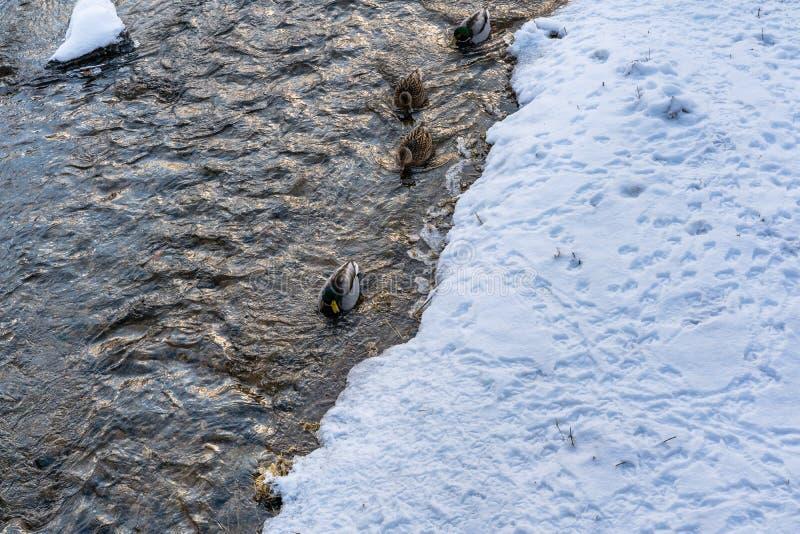 Photo des canards nageant en rivière partiellement congelée en parc sur Sunny Winter Day photographie stock