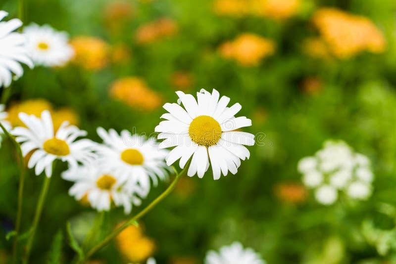 Photo des fleurs blanches sur un fond d'herbe au foyer mou photos stock