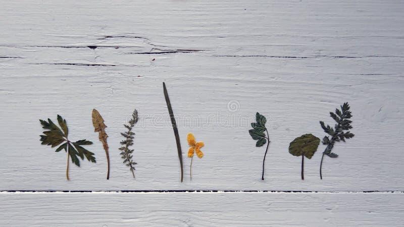 Photo des herbes sèches sur le fond blanc en bois photo stock