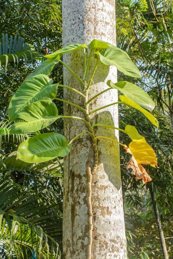 Photo des vignes de pothos d'or sur l'arbre image stock