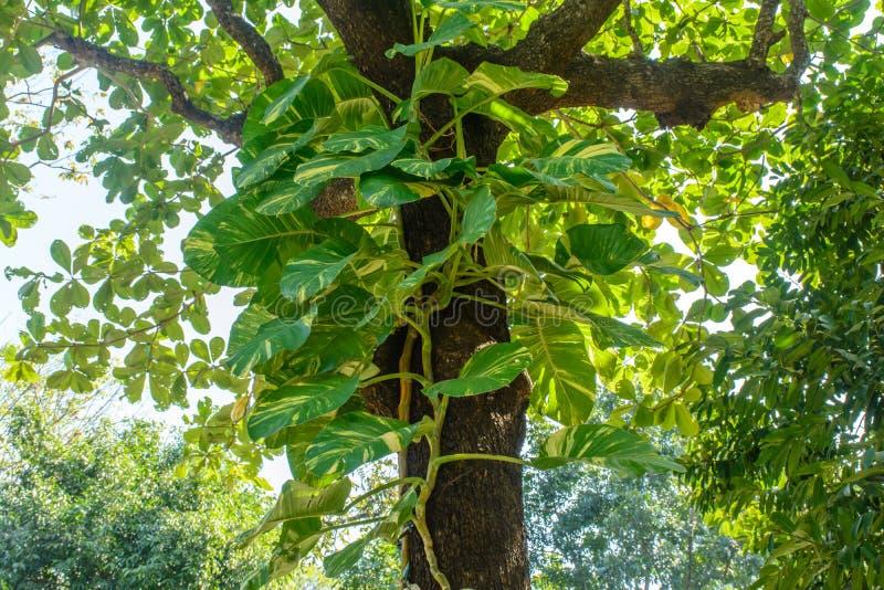 Photo des vignes de pothos d'or sur l'arbre photos libres de droits