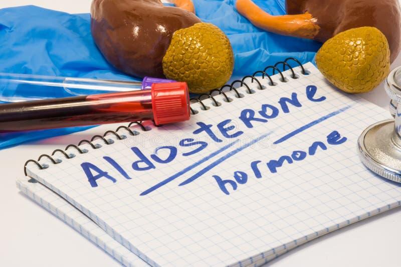 Photo diagnostique de concept d'hormone de minéralocorticoïde d'aldostérone Cortex de glandes surrénales avec des reins, qui prod image stock