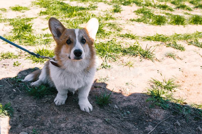 Photo of a dog corgi on the street. Portrait of a small dog. Welsh Corgi sits on the grass and looks into the camera royalty free stock image