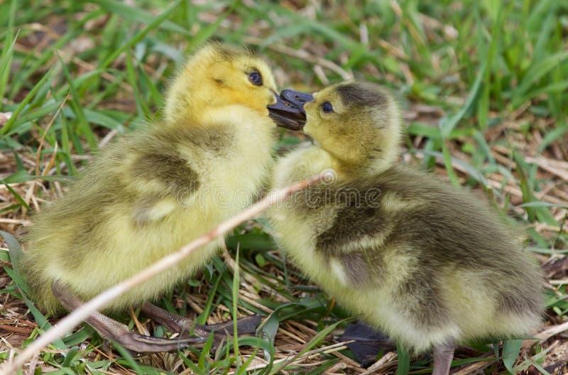 Photo drôle avec embrasser de jeunes poussins des oies de Canada photo stock