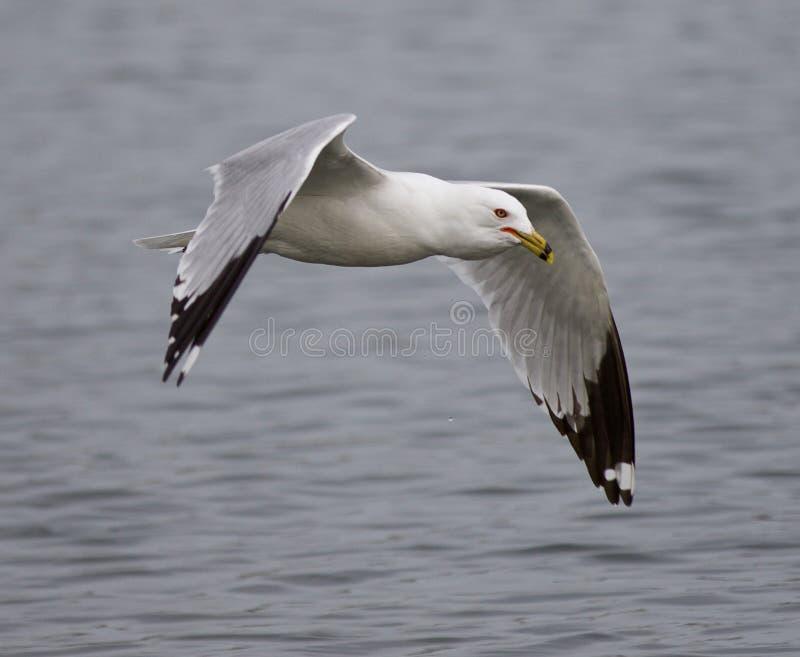 Photo drôle avec un vol de mouette près de l'eau photos libres de droits