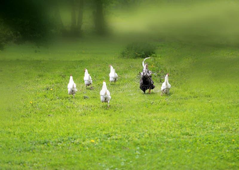 Photo drôle d'un poulet d'emballement et d'un coq photographie stock