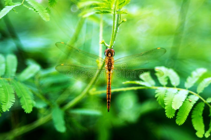A dragonfly on mimosa pudica leaf. Photo of a dragonfly on mimosa pudica leaf taken with nikon d3200 and fujinon 55mm lens royalty free stock image