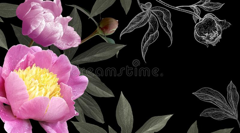 Photo and drawing pink flowers peonies on black background. Floral modern card. Photo and drawing pink flowers peonies on black background. Template for design stock images