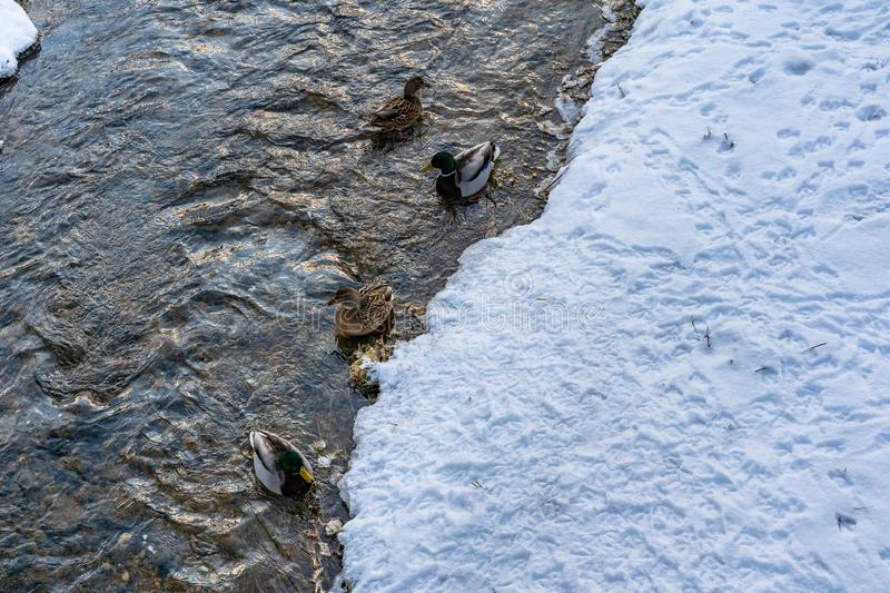 Photo of Ducks Swimming in Partly Frozen River in Park on Sunny Winter Day stock images