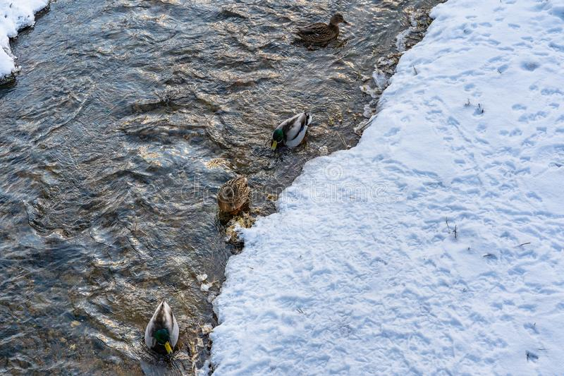 Photo of Ducks Swimming in Partly Frozen River in Park on Sunny Winter Day royalty free stock image