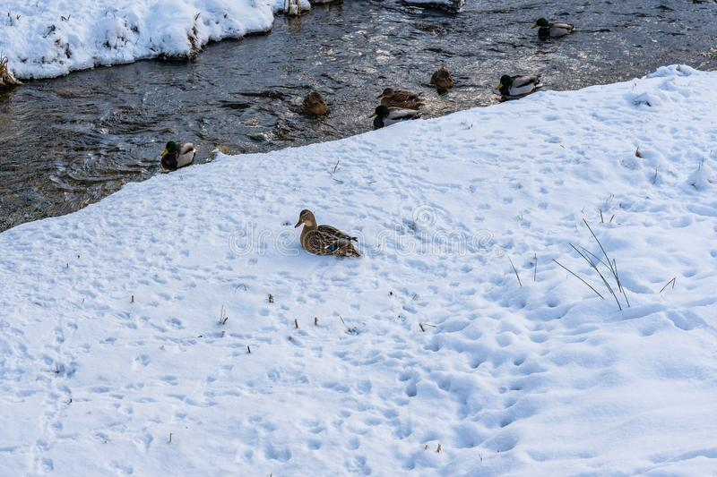 Photo of Ducks Swimming in Partly Frozen River in Park on Sunny Winter Day stock photos