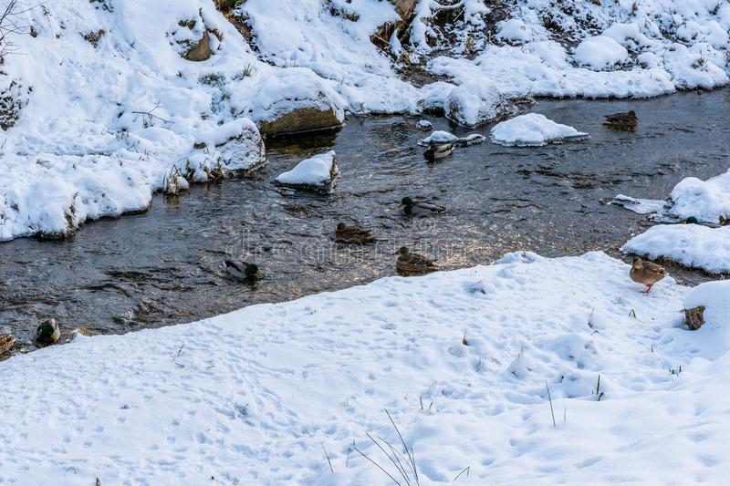 Photo of Ducks Swimming in Partly Frozen River in Park on Sunny Winter Day royalty free stock photos
