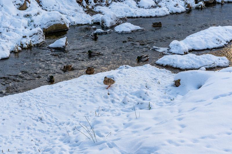 Photo of Ducks Swimming in Partly Frozen River in Park on Sunny Winter Day stock photo