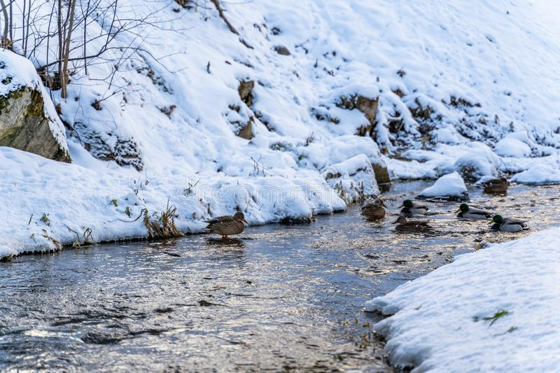 Photo of Ducks Swimming in Partly Frozen River in Park on Sunny Winter Day stock image