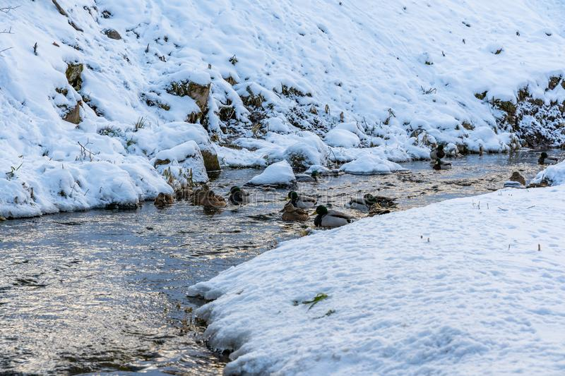 Photo of Ducks Swimming in Partly Frozen River in Park on Sunny Winter Day royalty free stock photo