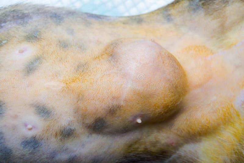 Photo en gros plan d'un abdomen de chat chirurgie d'hernie d'épiploon d'epiplocele par le vétérinaire à la clinique image libre de droits