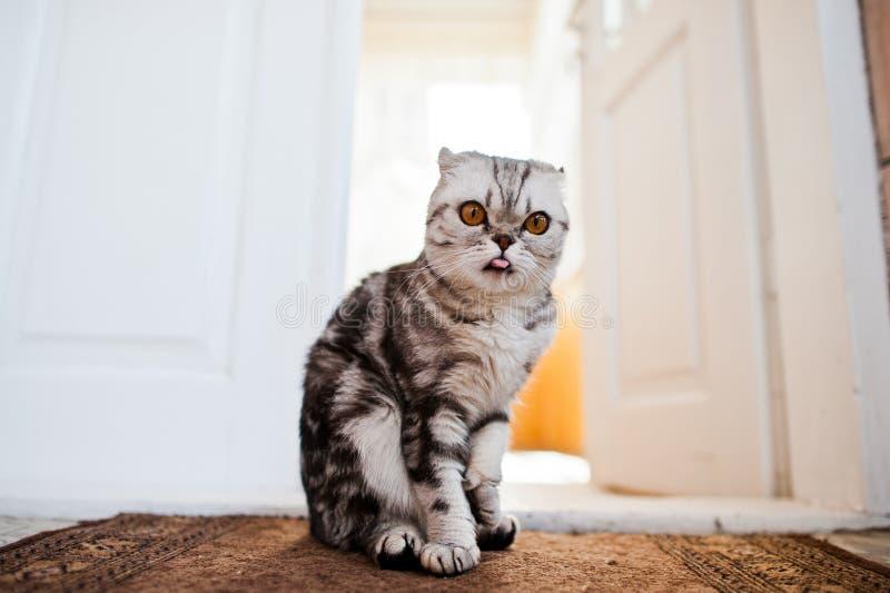 Photo en gros plan d'un chaton écossais de pli images stock