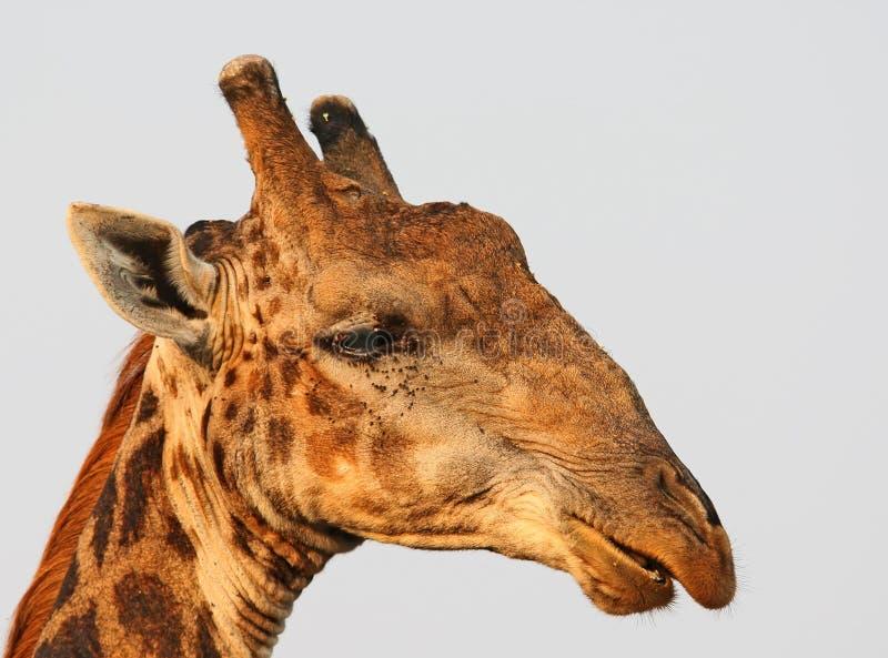 Photo en gros plan d'une girafe images stock