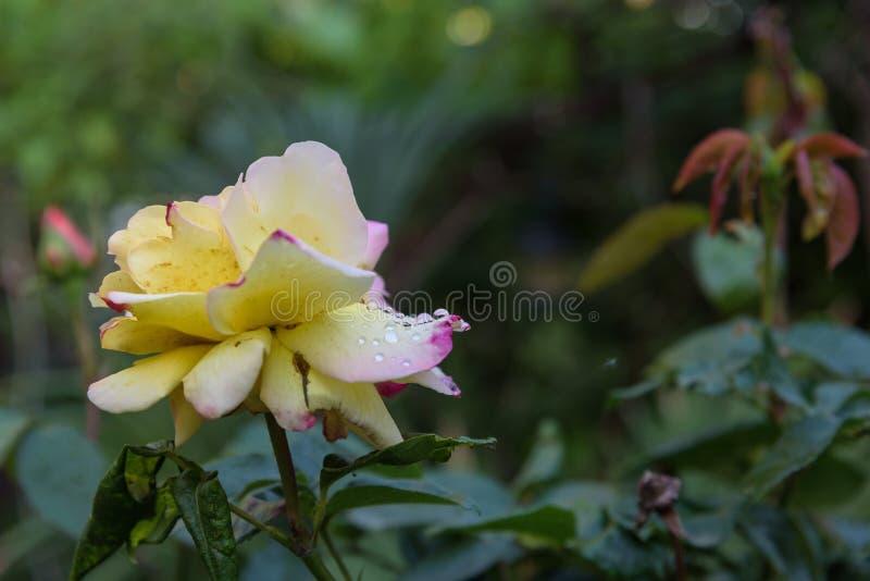 Photo en gros plan de fleur de rose de jaune avec des baisses de l'eau et des feuilles photo libre de droits