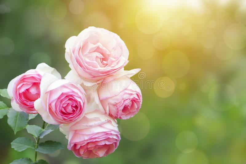 A photo of english climbing pink pale rose bush, summer garden. Rose shrub in the park. Sunshine beams, bokeh with selective soft royalty free stock photo