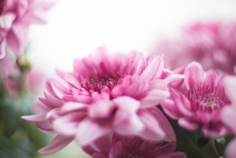 Photo ensoleillée de chrysanthème macro image stock