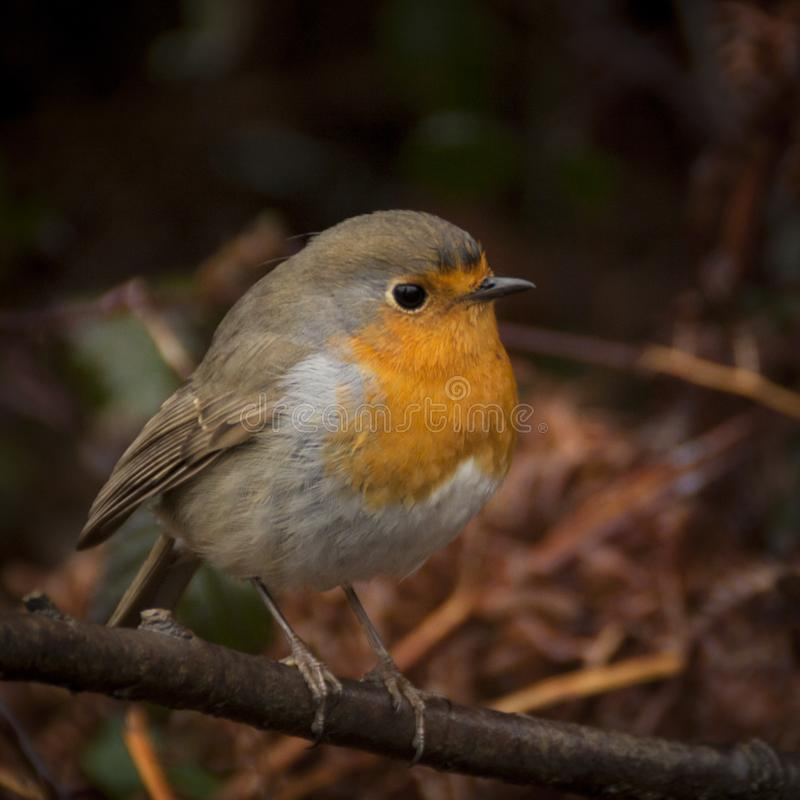 Photo of the European Robin Erithacus rubecula. Detailed and bright portrait. Autumn landscape with a song bird stock photo