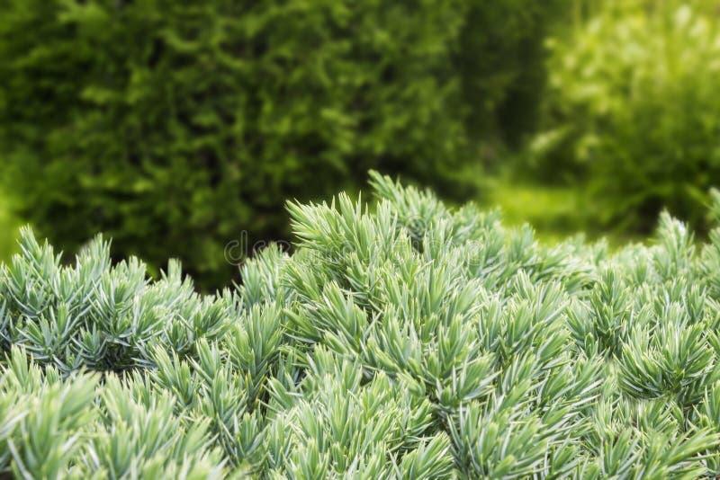 The photo of evergreen juniper bush with green needles. Ornamental thorns of Juniperus communis, treetop edges. Selective soft foc royalty free stock photos