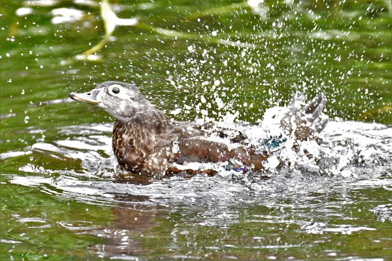 A photo of Female woodduck bathing in the lake. royalty free stock photos