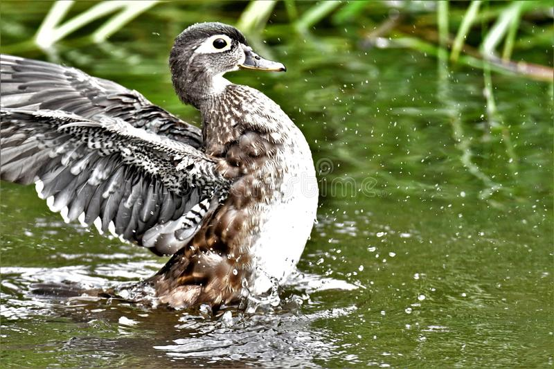 A photo of Female woodduck stretching the wings . royalty free stock photography