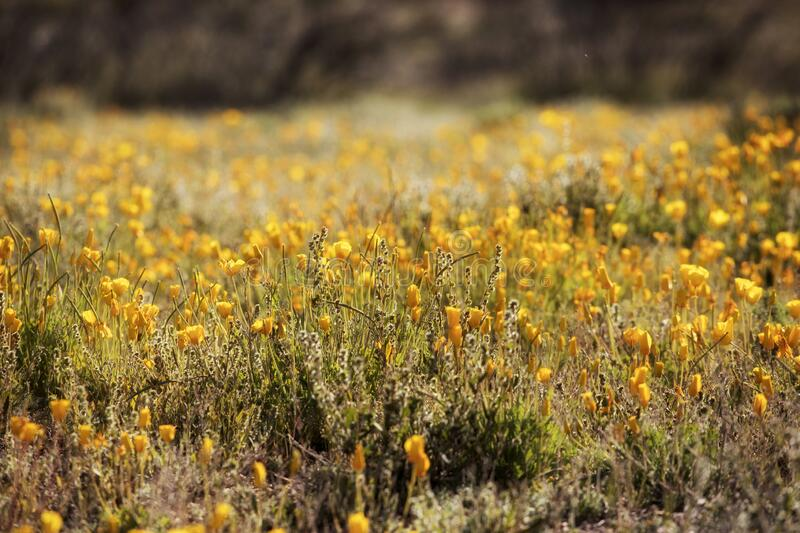 A Field of New Mexico Poppies stock photography