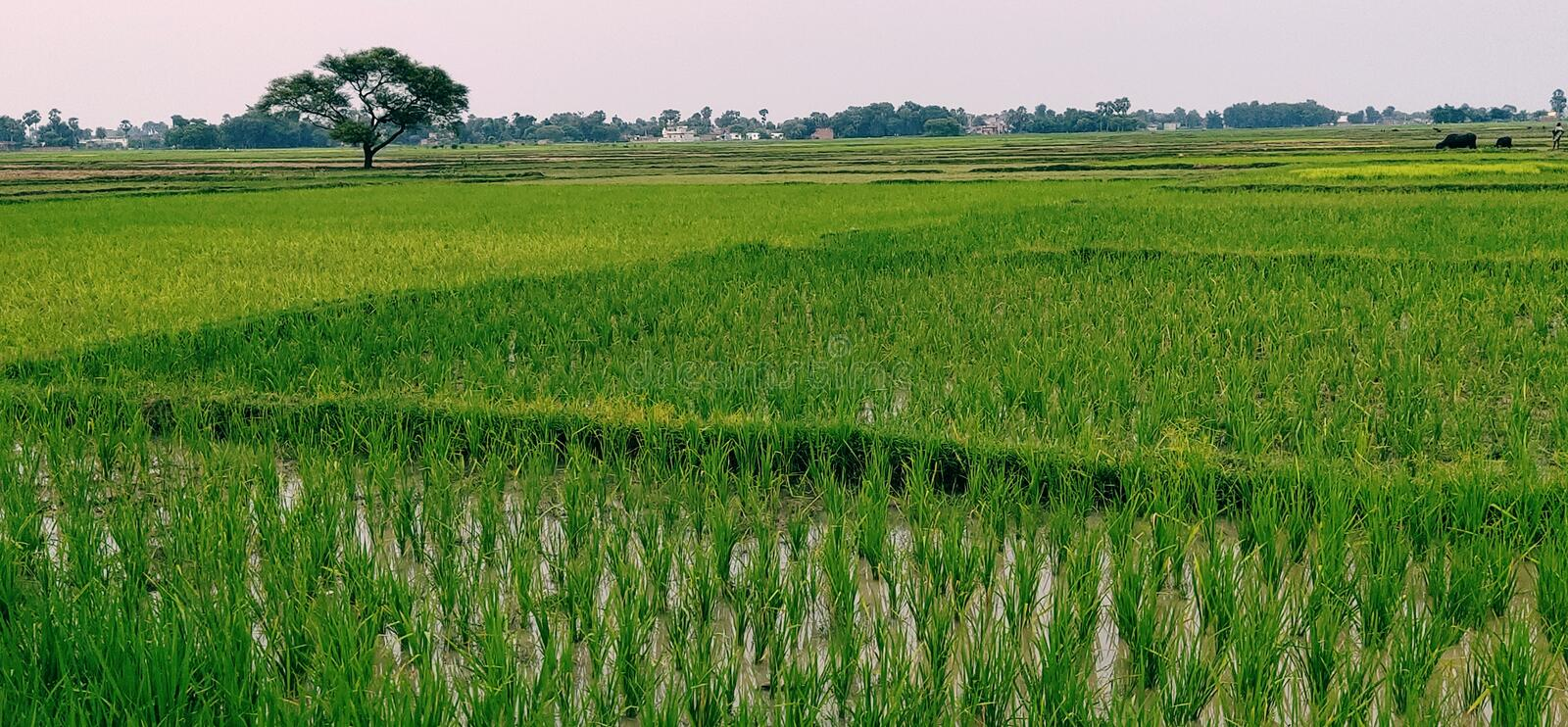 This is a photo of a field, sown paddy in it, which looks very beautiful. royalty free stock photography