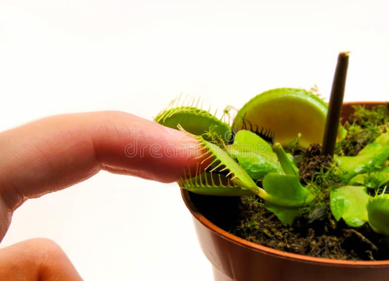Finger in a Venus Fly Trap mouth. Photo of a finger in Venus Fly Trap mouth on white background. That lovely plant would never hurt me royalty free stock photos