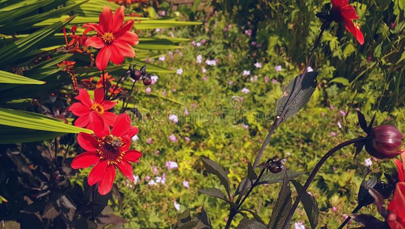 Photo of flowers and garden plants. A beautiful photograph featuring many things. A bee on a red and yellow oriental style flower, a few redish purple coloured stock image