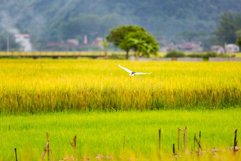 Photo frame of Vietnam countryside with golden rice royalty free stock images