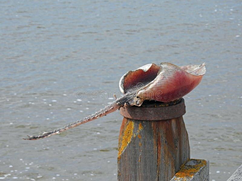 Stingray ray fish on beach breakwater post seaside bbq food fresh seafood royalty free stock photos