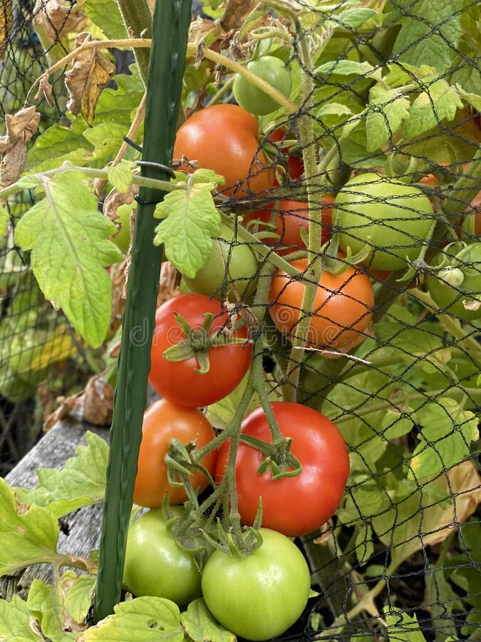 Photo of Fruit of Alicante Tomato stock images