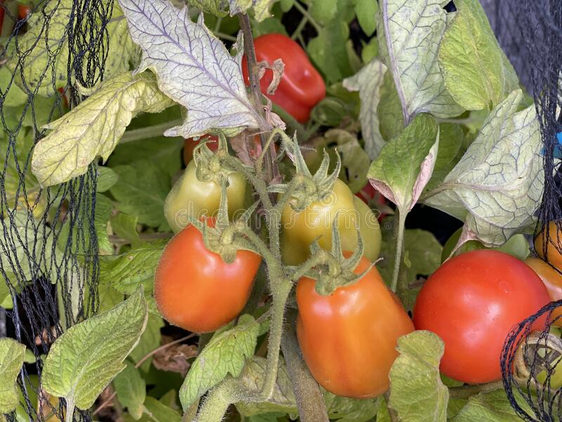 Photo of Fruit of Roma tomato royalty free stock photos