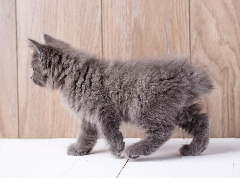 Funny american bobtail cat royalty free stock photo