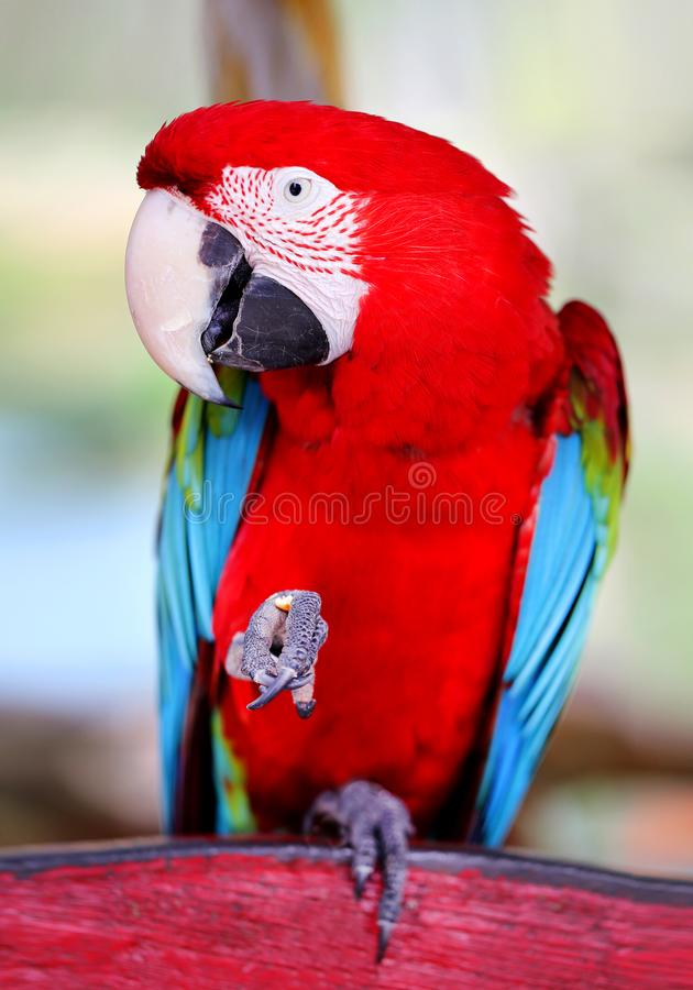 Photo of a funny big close-up red parrot royalty free stock photography