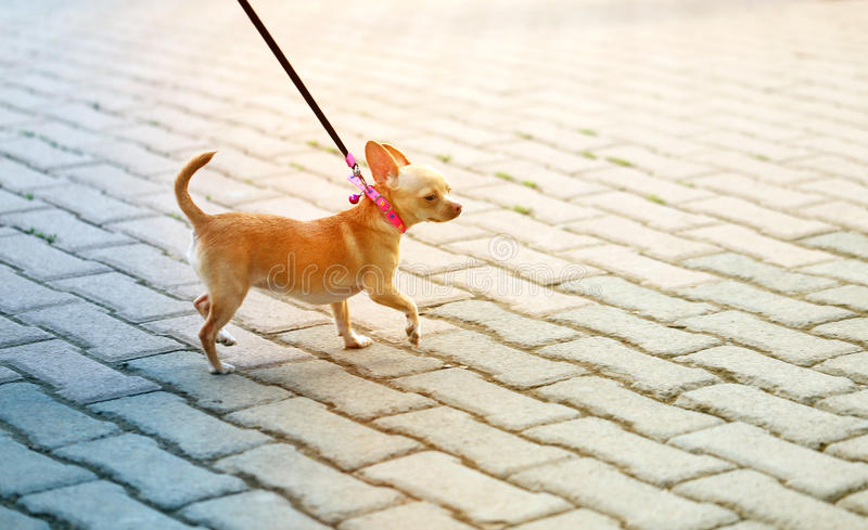 Photo funny a little dog walking royalty free stock images